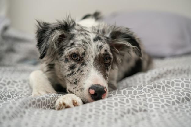 Cucciolo di cane border collie merle