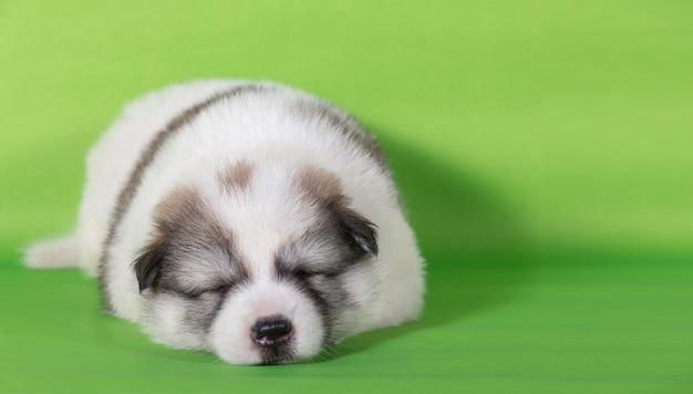Cucciolo di cane che dorme sul fondo verde