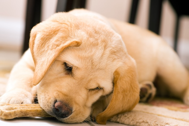 Cucciolo di cane che mangia l'osso del giocattolo
