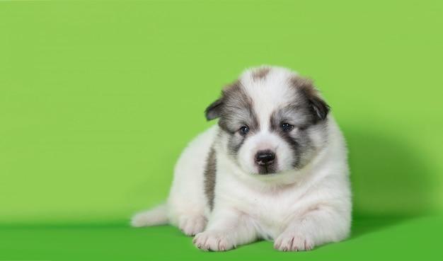 Cucciolo di cane che si trova sul fondo verde