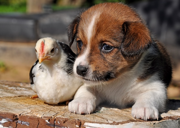 Cucciolo di cane con un piccolo pollo, pasqua