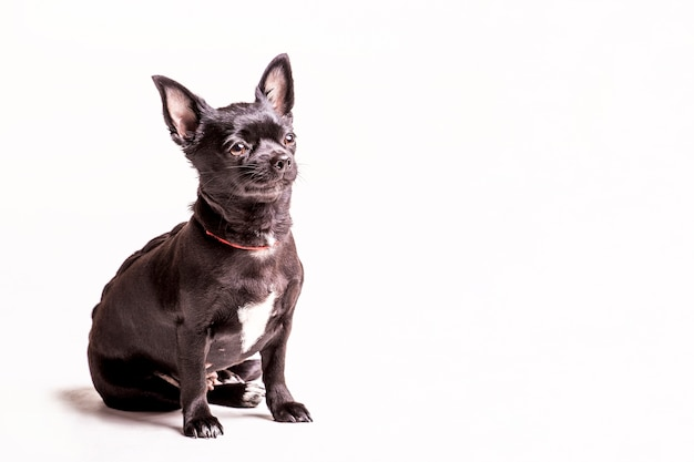 Cucciolo di cane del terrier di boston che si siede sul fondo bianco