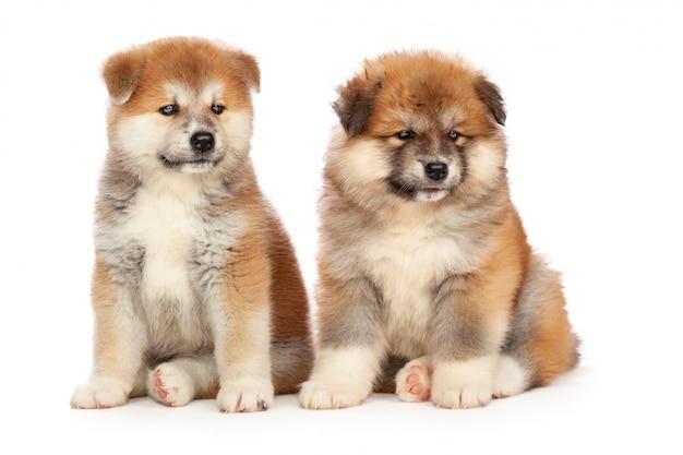 Cucciolo di cane di akita inu su bianco