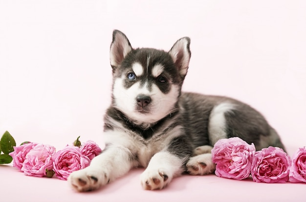 Cucciolo di cane husky e rose rosa tea. copia spazio.