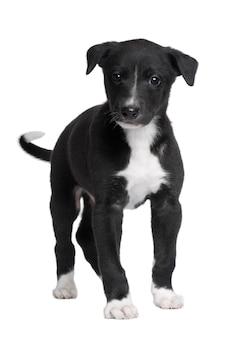 Cucciolo di cane levriero con 6 settimane.