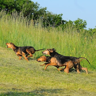 Cucciolo di cane segugio italiano