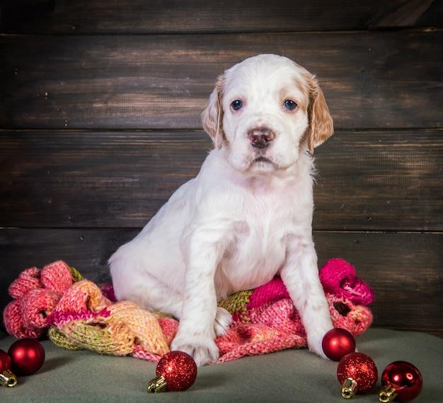 Cucciolo di cane setter inglese con sciarpa calda lavorata a maglia e palline di giocattoli natalizi. sfondo di natale