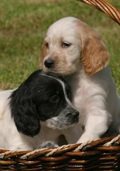 Cucciolo di cane setter inglese