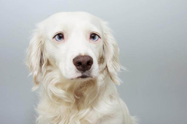 Cucciolo di cane sveglio del ritratto con gli occhi azzurri, isolato su fondo colorato grigio.