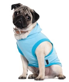 Cucciolo di carlino vestito con felpa blu, 6 mesi, seduto