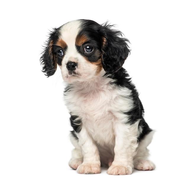 Cucciolo di cavalier king charles spaniel
