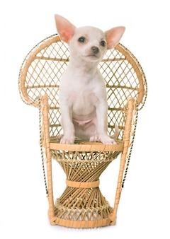Cucciolo di chihuahua bianco in cattedra