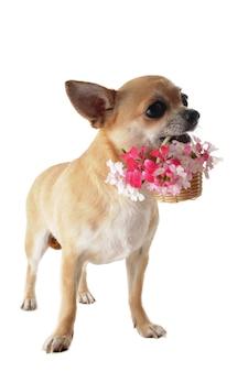 Cucciolo di chihuahua e fiori
