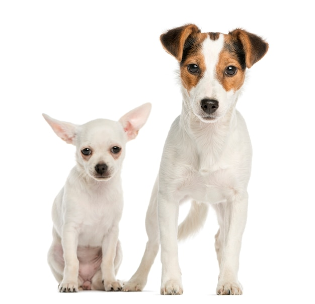 Cucciolo di chihuahua e jack russell terrier uno accanto all'altro