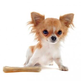 Cucciolo di chihuahua e osso