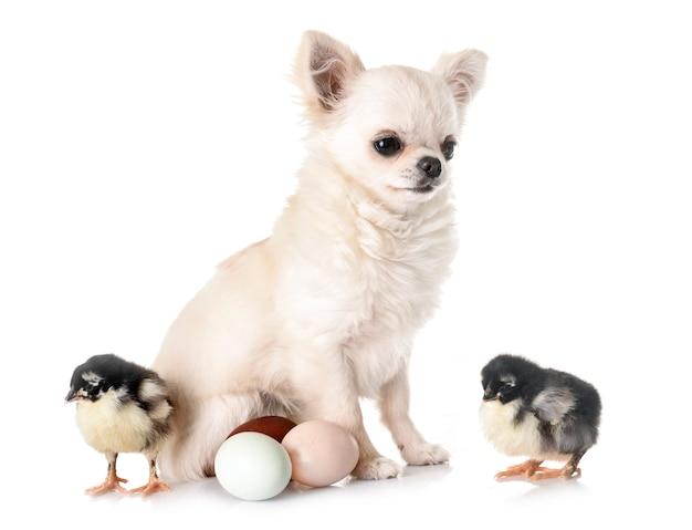 Cucciolo di chihuahua e pulcini