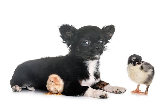 Cucciolo di chihuahua e pulcino