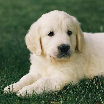 Cucciolo di cucciolo di golden retriever riposa sulla natura