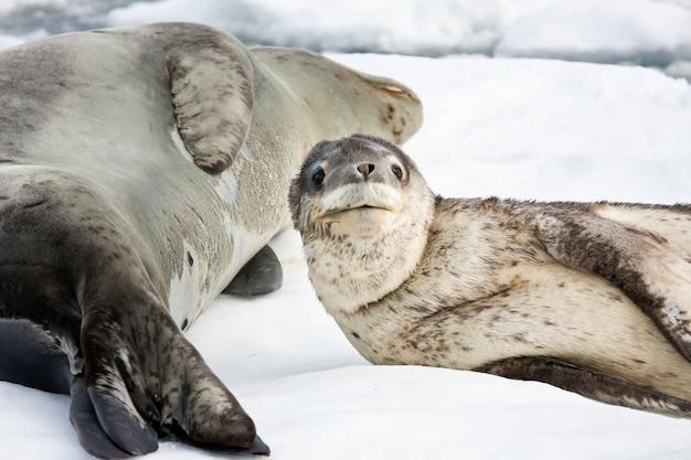 Cucciolo di foca con la sua mamma