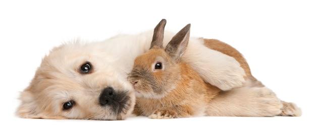 Cucciolo di golden retriever (20 settimane) e un coniglio