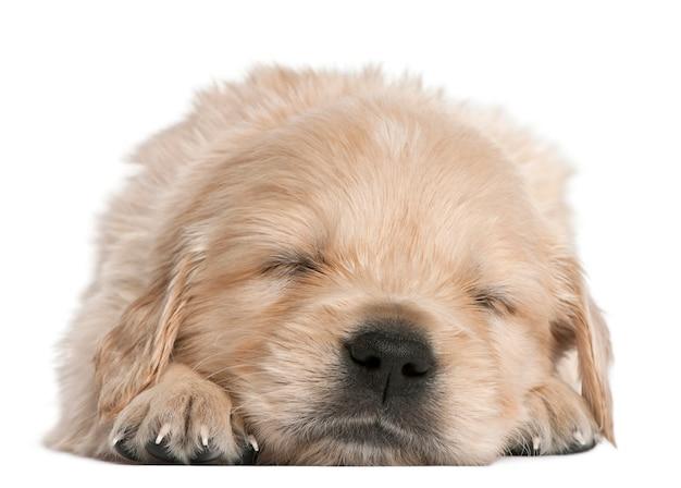Cucciolo di golden retriever, 4 settimane, addormentato