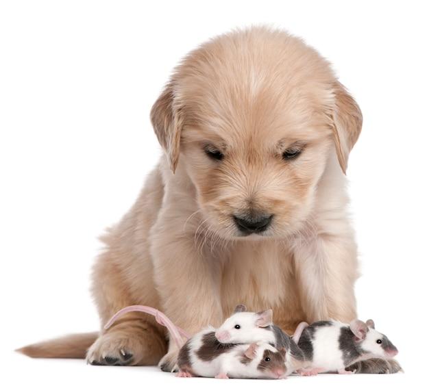 Cucciolo di golden retriever, 4 settimane e topi