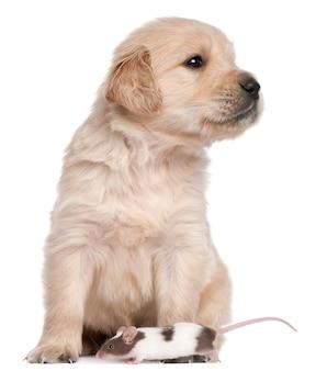 Cucciolo di golden retriever, 4 settimane e un topo