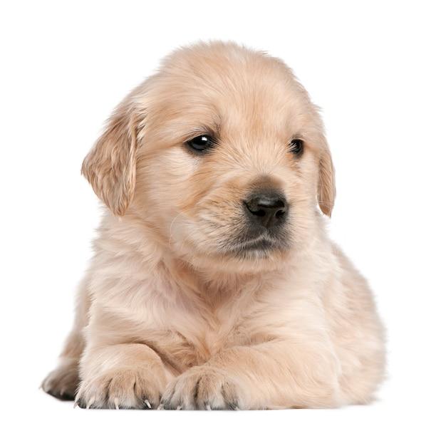 Cucciolo di golden retriever, 4 settimane, sdraiato