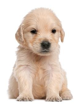 Cucciolo di golden retriever, 4 settimane, seduto