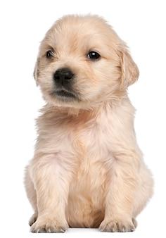 Cucciolo di golden retriever, 4 settimane
