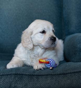 Cucciolo di golden retriever di due mesi che si siede ritratto sveglio, con un giocattolo di colore