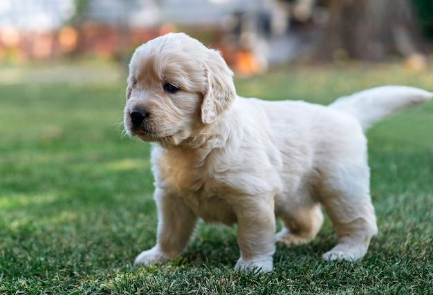 Cucciolo di golden retriever nel giardino