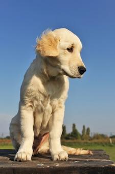 Cucciolo di golden retriever