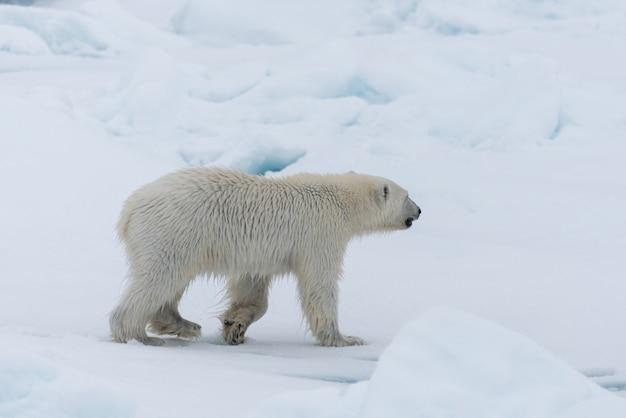 Cucciolo di orso polare selvaggio sul ghiaccio del pacchetto, a nord della norvegia artica delle svalbard