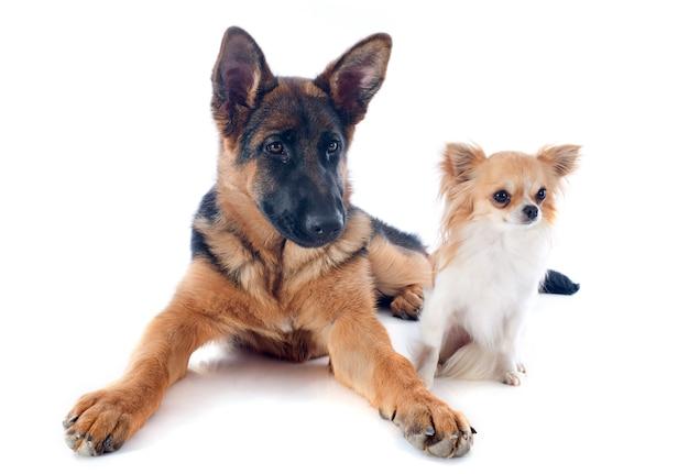 Cucciolo di pastore tedesco e chihuahua