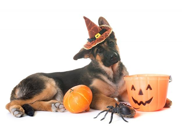Cucciolo di pastore tedesco e halloween