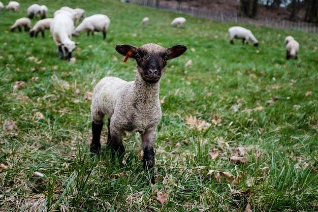 Cucciolo di pecora in un campo
