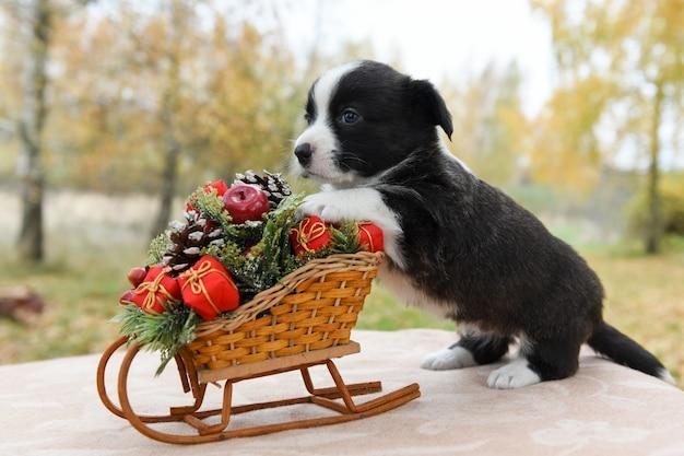 Cucciolo di pembroke welsh corgi in santa hat
