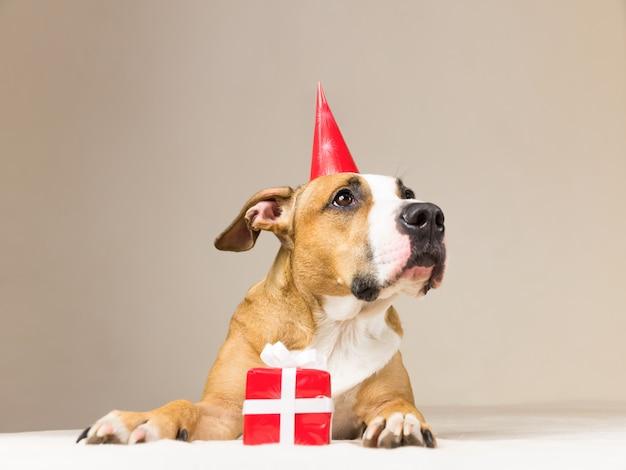 Cucciolo di pitbull divertente in cappello di compleanno con piccola sorpresa alle sue zampe