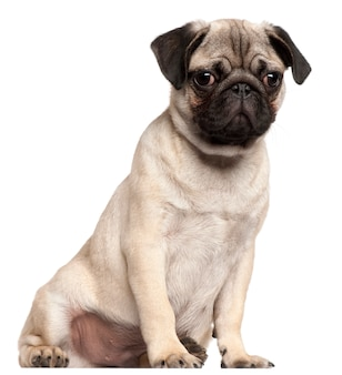 Cucciolo di pug, 3 mesi, seduto