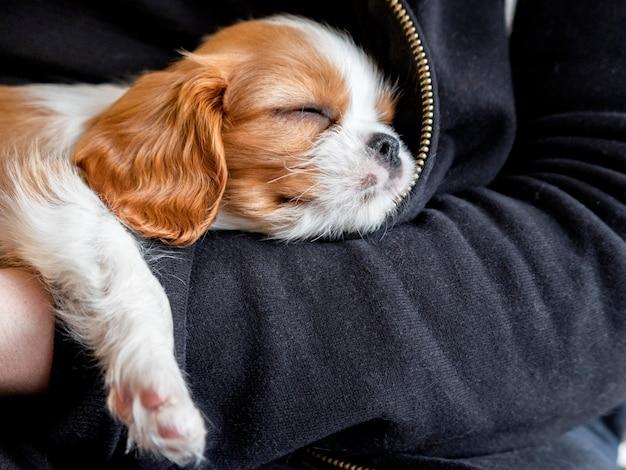 Cucciolo di razza carino cavalier king charles spaniel dorme tra le braccia