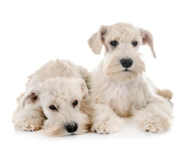 Cucciolo di schnauzer in miniatura bianco