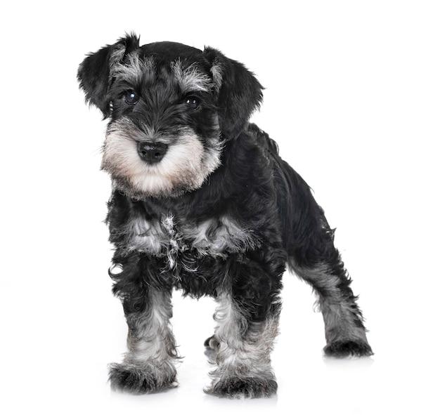 Cucciolo di schnauzer in miniatura