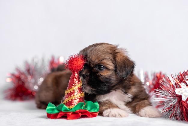 Cucciolo di shih tzu su bianco con le decorazioni di natale. decorazioni natalizie.