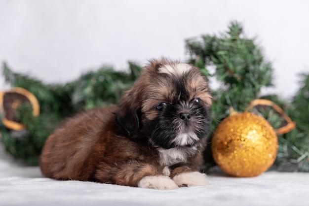 Cucciolo di shih tzu su fondo bianco con le decorazioni di natale. decorazioni natalizie.