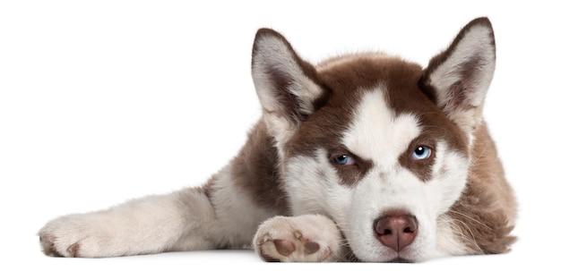 Cucciolo di siberian husky, 5 mesi