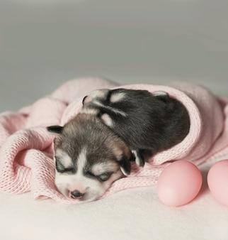 Cucciolo di siberian husky appena nato di 1 giorno. husky dog breeding. concetto di medicina veterinaria, clinica dello zoo, clinica veterinaria. i cuccioli di cane dormono. hotel zoo. hotel per animali. articoli per animali domestici. cane pasquale