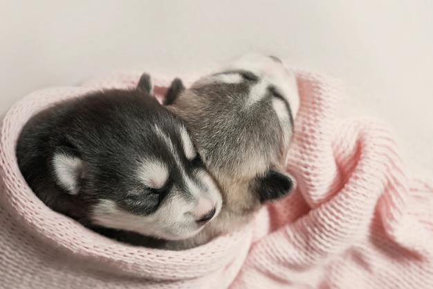 Cucciolo di siberian husky appena nato di 1 giorno. husky dog breeding. concetto di medicina veterinaria, clinica dello zoo, clinica veterinaria. i cuccioli di cane dormono. hotel zoo. hotel per animali. articoli per animali domestici
