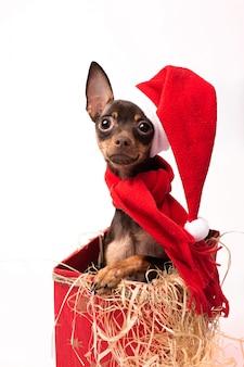 Cucciolo di terrier in una scatola di natale rossa.