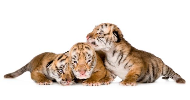 Cucciolo di tigre (4 giorni) isolato